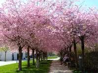 Kirschblüte im Inn-Stadtpark