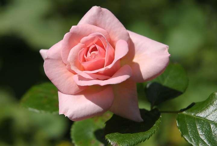 Rose hellrosa