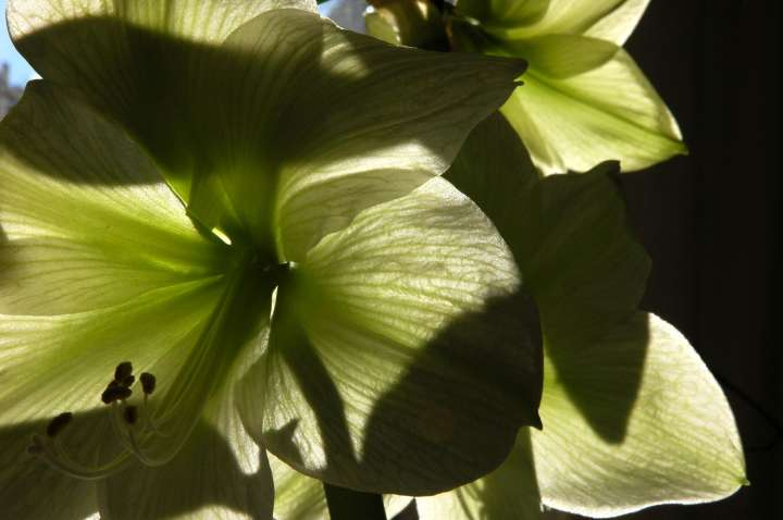 Amarillis grün