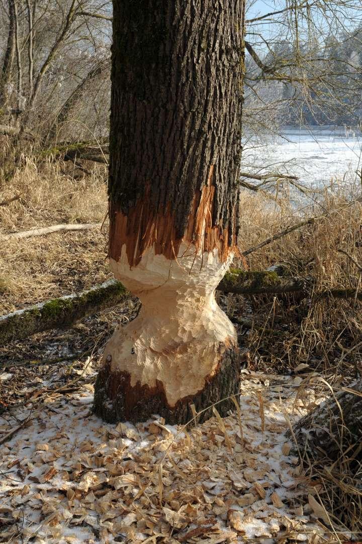 Unsere nagenden Freunde, die Biber, haben dem Auwald wieder ordentlich zugesetzt