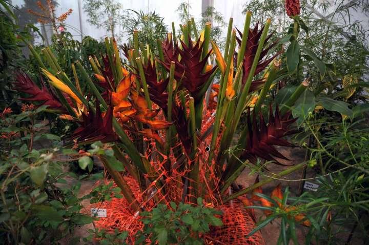 Heliconia - Wunderschöne Blumen - Pflanzen - Blütengestecke in der Blumenhalle