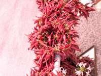 Blumenhaus der Landesgartenschau Rosenheim - Gebinde aus Pfefferschoten