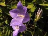Glockenblumen 2
