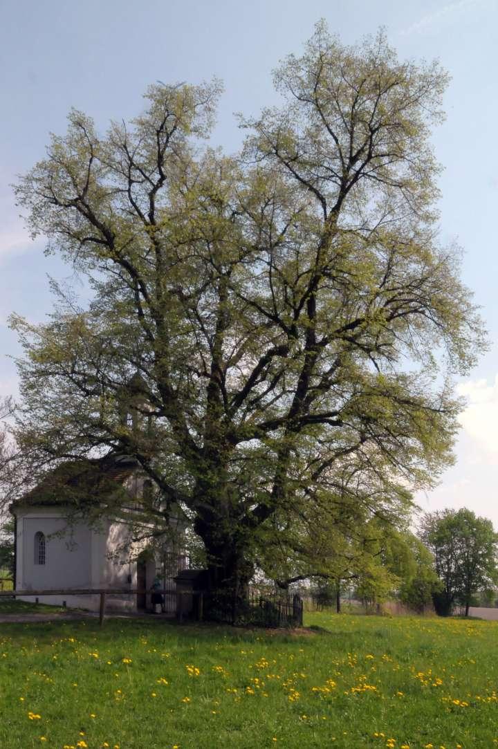 Wegen Pilzbefall muß die Denkmallinde an der Kronwidlkapelle im Jahr 2011 gestutzt oder sogar gefällt werden. Ein letztes Bild vor dem Eingriff.