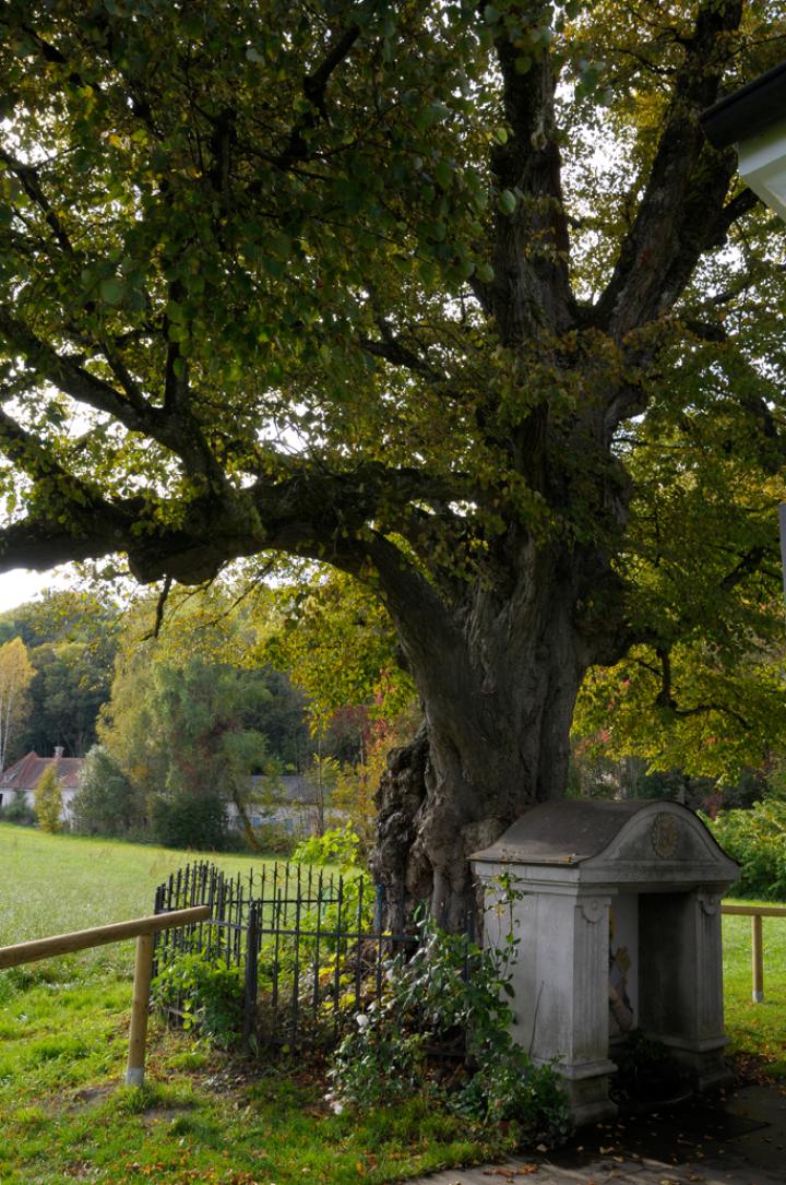 Viele Jahre spendete der knorrige, als Naturdenkmal gewertete Baum, dem Wanderer Schatten. Zu seinen Füssen steht der Quellbrunnen, dem heilende Wirkung nachgesagt wird